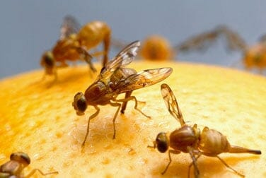 The ejaculation of male fruit flies